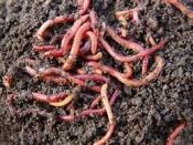 Regenworm 15 stuks